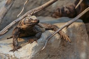 Chuckwalla reptile on stone sitting
