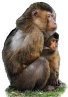macaque with a baby on a white background