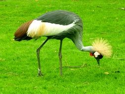foraging grey crowned crane