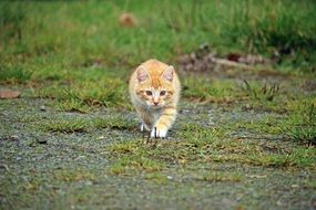 young ginger Cat Sneaking Up