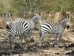 zebras in a national park in uganda