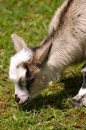 grazing goatling