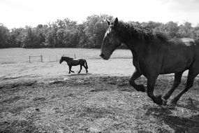 Black and white photo of horses on the meadow
