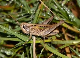 wet grasshopper after rain
