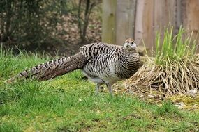 pheasant in a zoo
