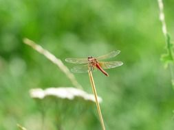 red dragonfly in wildlife