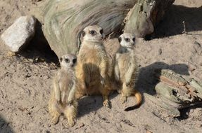 adorable meerkats in the zoo