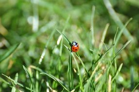 ladybug on the green grass in spring