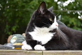 Black White Domestic cat