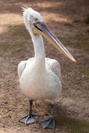 White pelican on ground