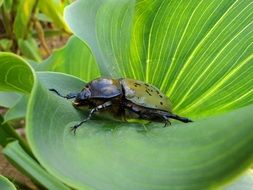 large beetle on the green leaf