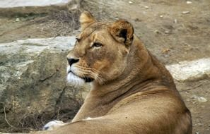 lioness resting on a stone