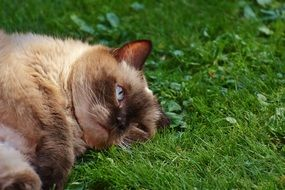 British Shorthair lying on its side in the grass