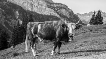 black and white picture of a farm cow on pasture