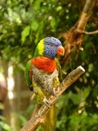 tropical colorful plumage parrot