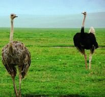two large ostrich in the wild in africa