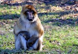 sitting funny barbary macaque