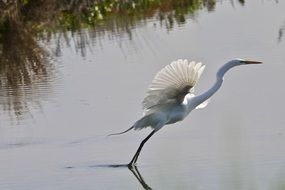 swamp great egret