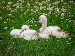 fluffy young swans