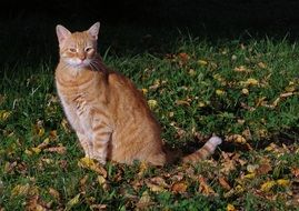 red cat on the autumn foliage