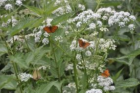 three orange butterflies on a flowering yarrow