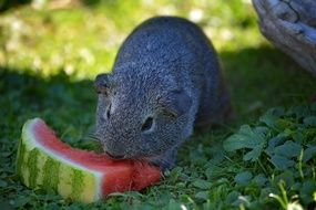 guinea pig is eating watermelon