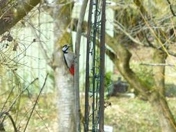 colorful great spotted woodpecker