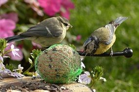blue tits eating fat ball