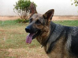 German Shepherd pastor dog