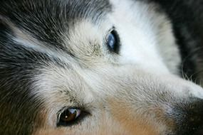 Face of Husky Dog close up