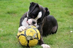 black and white boxer gnawing a ball