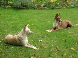 beautiful and cute Dog Podenco