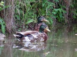 ducks in the undergrowth on the water