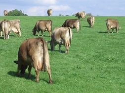 cows on a green pasture