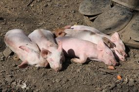five pink Piglets Sleeping together on ground