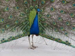 colorful handsome male peacock