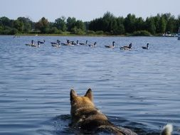 Hunting Dog Is Swimming