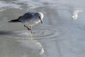 seagull walking on melting ice