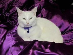 white cat on a purple plaid