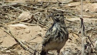 Lark in wildlife