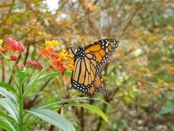 charmingly cute Monarch Butterfly