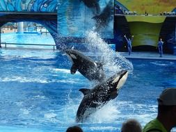 Killer whales in water
