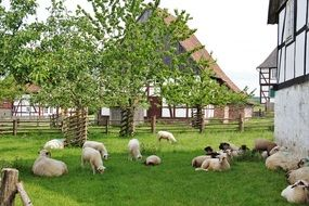 Sheep herd on farm at summer, germany, Bentheim