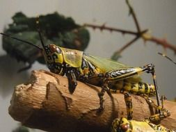 closeup of a migratory locust
