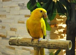 sitting yellow parrot