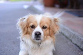 Portrait of Pekingese dog