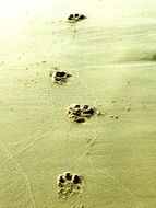 dog prints in the wet sand