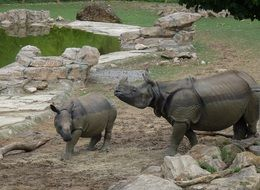 family of rhinos in the zoo pen