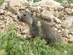 alpine marmot in wildlife