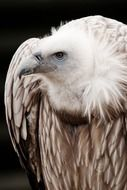 portrait of a vulture